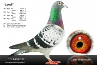 Picture of Chris Hebberecht pigeon BE13-4169172