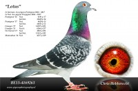 Picture of Chris Hebberecht pigeon BE13-4169263