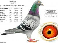 Chris Hebberecht pigeon BE08-4130476