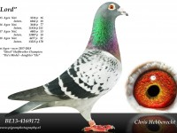 Chris Hebberecht pigeon BE13-4169172