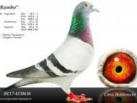 Chris Hebberecht pigeon BE17-4238636