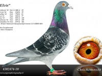 Chris Hebberecht pigeon BE10-4302474