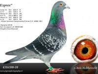 Chris Hebberecht pigeon BE10-4316380