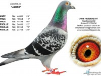 Chris Hebberecht pigeon BE07-4081876